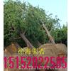 供应2012年银杏树价格表