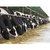 供应北京纯种荷斯坦奶牛定点供应