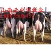 中国奶牛肉牛供应