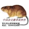 供应养殖致富麝香鼠