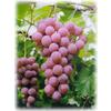 供应葡萄籽提取物
