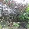 成都哪里有朴树苗木,成都朴树树苗出售,美森园艺feflaewafe