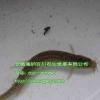 供应泥鳅水蛭养殖场泥鳅水蛭养殖技术海纳百川全心全意为客户服务