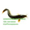 供应泥鳅水蛭养殖场泥鳅养殖技术海纳百川新品种徽强8号