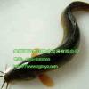 供应泥鳅养殖前景上升空间大 安徽泥鳅种苗有品种优势