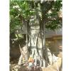 供应山东古树制作