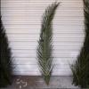 供应保鲜棕榈树 保鲜棕榈树 销售保鲜棕榈树