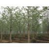 低价供应银杏树,指树挖树,成活率100%