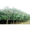 供应广玉兰,雪松绿化苗木。