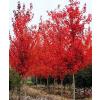 供应美国红枫南京农户苗。