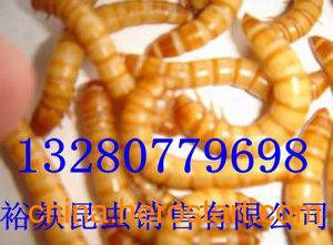 潍坊昆虫养殖加盟商|昆虫养殖技术中心|裕麸昆虫