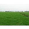 农户供应马尼拉草坪,天堂草坪,百慕大草坪,狗牙根草坪等绿化草坪,量大价优