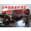 供应6000头西门达尔育肥牛300-500斤
