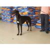供应哪里卖纯血统格力犬@全活格力犬在什么价位@格力犬有啥血统