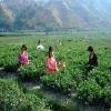茶叶批发|茶叶批发价格|广州茶叶批发市场feflaewafe
